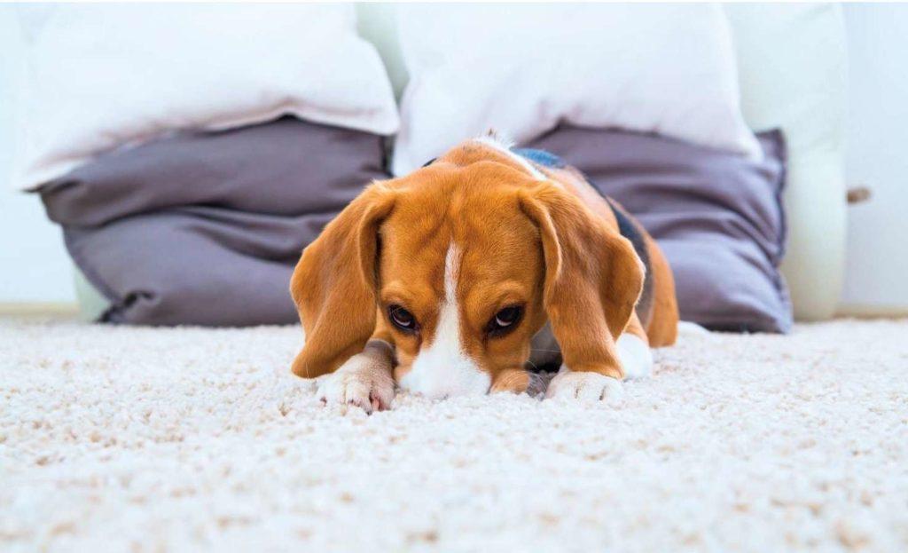 Больная собачка на коврике