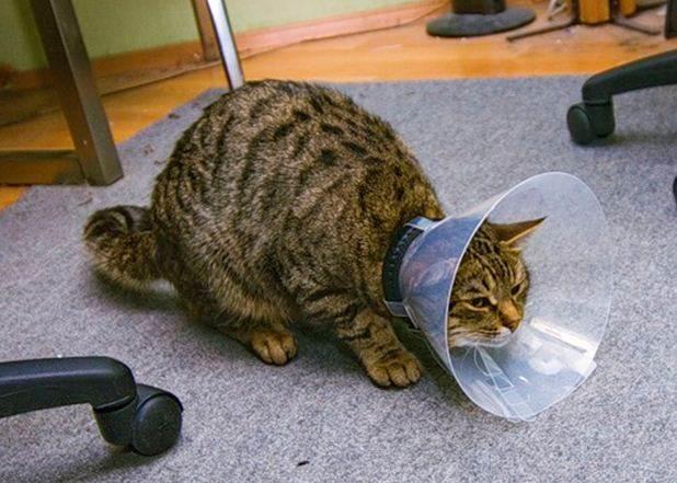 Фото кота после операции в специальном защитном воротнике