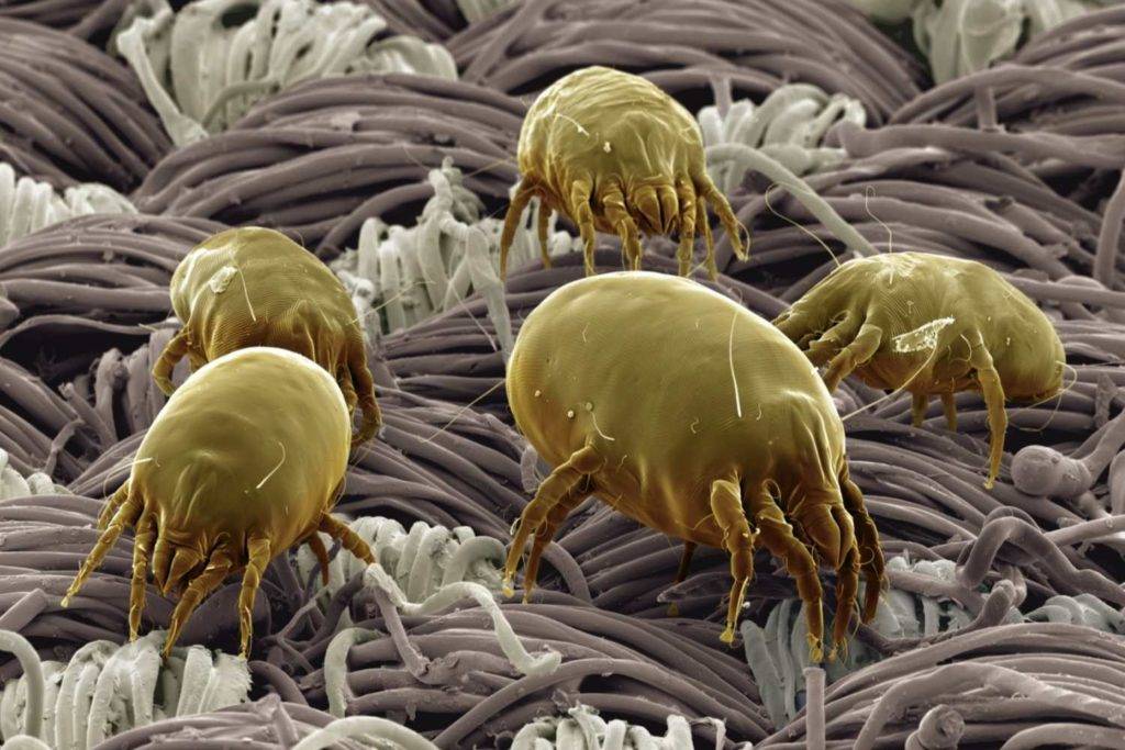 Ковровые клещи и бактерии фото