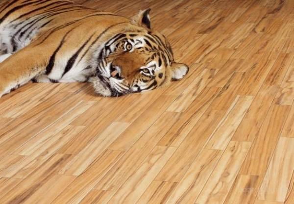 Тигру тоже нравится лакированный пол