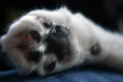 Удалить когти у кота навсегда можно хирургическим путем